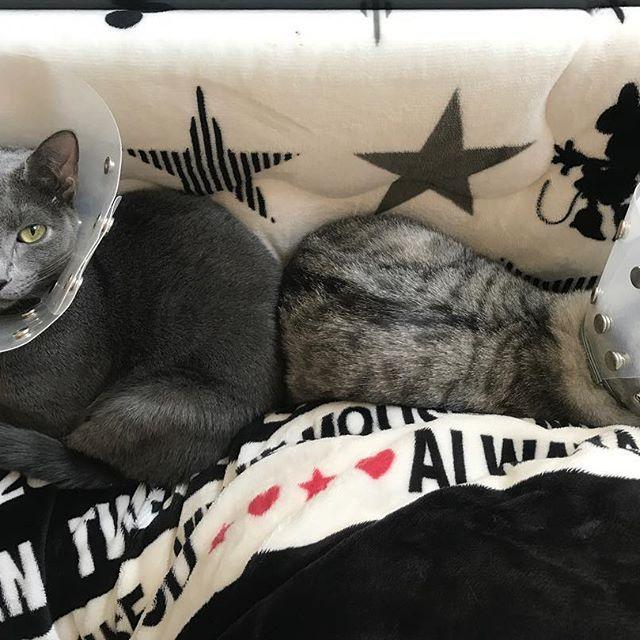 ♡ ゴンちゃん、お顔が見えないよ〜😿 ウォルトくんはバッチリカメラ目線✨ 眠い時しか仲が良くない2匹😫❤️ ずっと一緒にいたら仲良くなるかな? 早くカラー取りたいね、頑張ろう🙏 この1年は猫の病気が大変でした。 来年は病気になりませんように😭🙏 #cat#neko#ねこ#ネコ#猫#キャット #日本猫#雑種猫#ゴンちゃん#さばとら #ロシアンブルー#ウォルトくん#ロシ部 #みんねこ#にゃび#はにぺと部#picneko #ニャンダフルライフ#ピクネコ#愛猫 #にゃんだふるらいふ#ペコねこ部#美猫 #ニャンスタグラム#猫スタグラム#ねこ部 #ねこまみれ#インスタキャット#猫バカ #猫との暮らし