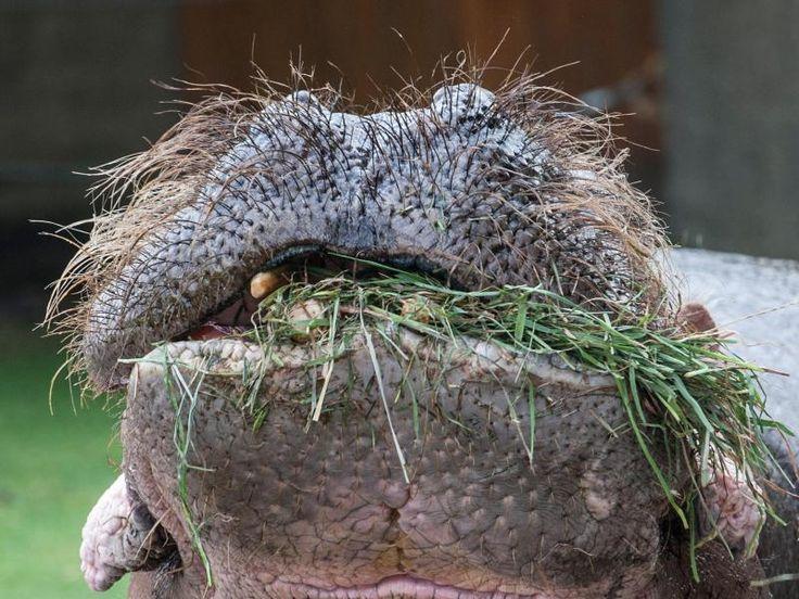 Fusselig: Ein Flusspferd lässt es sich im Berliner Zoo schmecken.