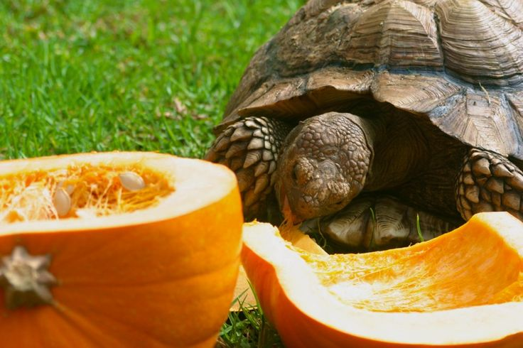Tortoise eating a pumpkin! A great autumn treat!