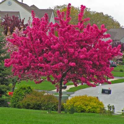 A Fiery Explosion of Vibrant Blossoms in Springtime - Prairifire Crabapple tree (Malus x 'Prairifire') is one of the showiest trees you can plant in your yard. In early spring, when much of the landscape is still winter-drab and summer flowers have yet to make their appearance, you can depend on flowering trees for early-season color. Although it...