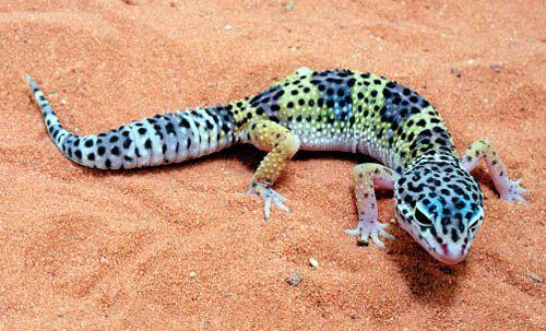 Leopard gecko - amazing colours!                                                                                                                                                     More