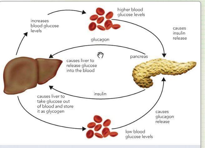 Insulin und Glucagon Sao Protein wie zur Gewichtsreduktion