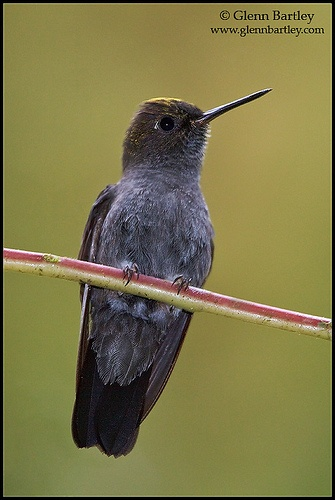Hoary Puffleg (Haplophaedia lugens)  A species of hummingbird in the Trochilidae family found in Colombia and Ecuador. Its natural habitat is subtropical or tropical moist montane forests. It is becoming rare due to habitat loss