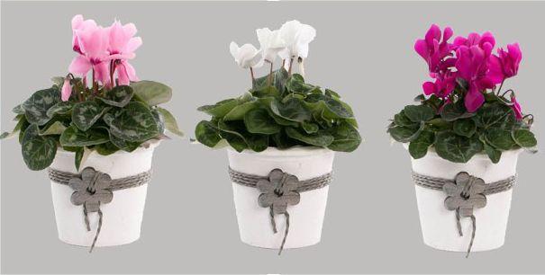 kwekerij van Adrichem potplanten  #Cyclaam Super Serie Macro