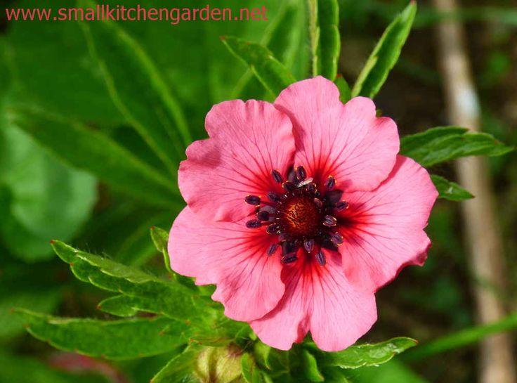 Cinquefoil blossom