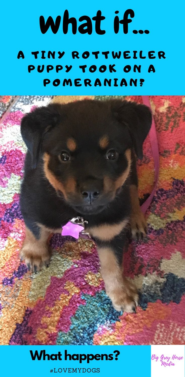 What Happens When A Baby Rottweiler Puppy And An Adult Pomeranian