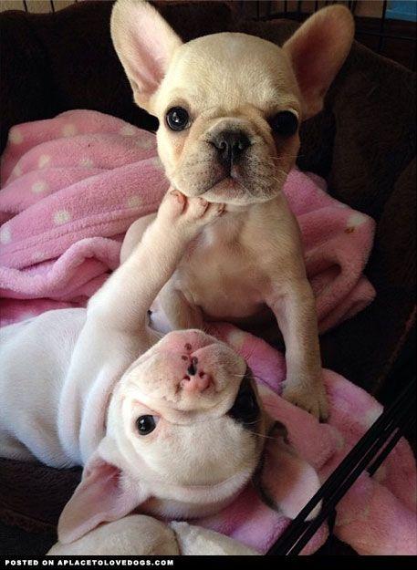 French Bulldog Puppies Playing
