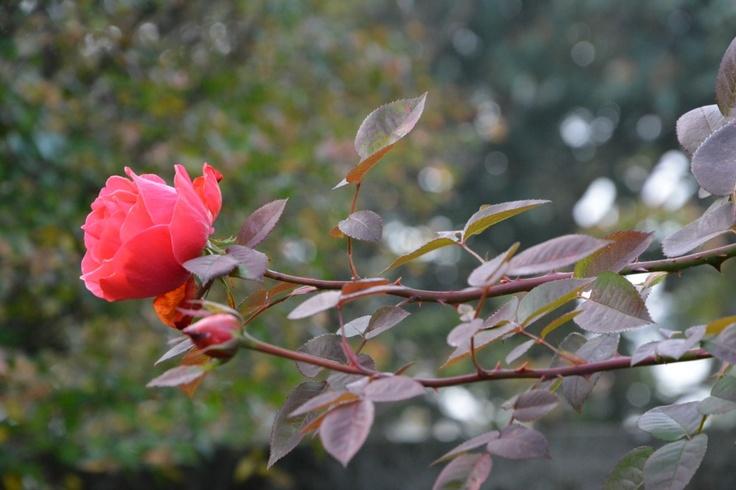 rose di gennaio