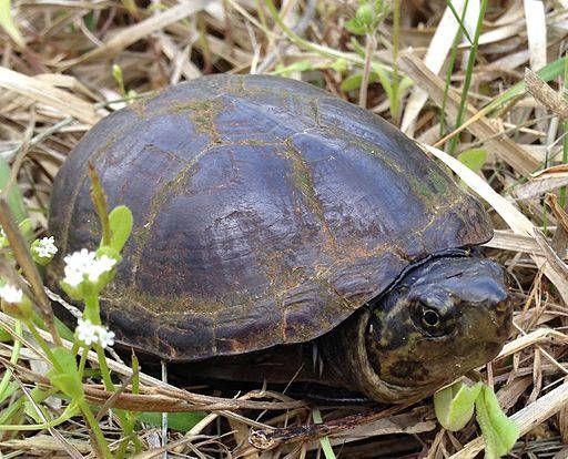 Dove vive e cosa mangia la Kinosternon subrubrum subrubrum. Tartaruga del fango comune, habitat di vita naturale e riproduzione.
