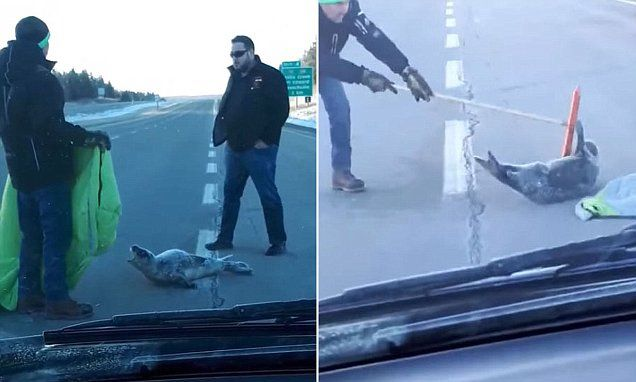 Baby seal in the middle of the road snaps at rescue team