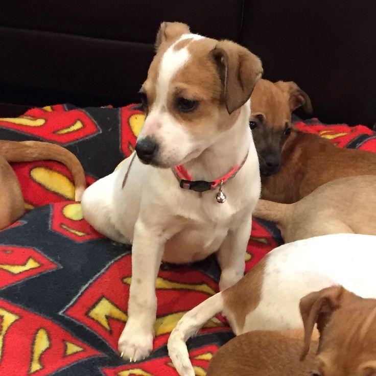 Jack Chi dog for Adoption in Spanish Fork, UT. ADN-446408 on PuppyFinder.com Gender: Female. Age: