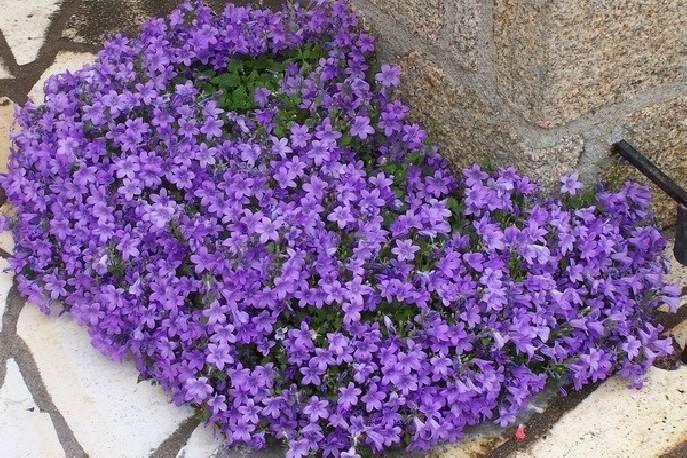 Dzwonek Dalmatynski Campanula Portenschlagiana Campanula Portenschlagiana Campanula Plants