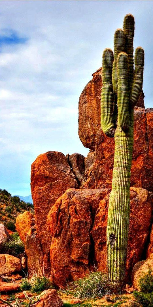 Saguaro in the Sonoran Desert | larrymillerscottsdale.com