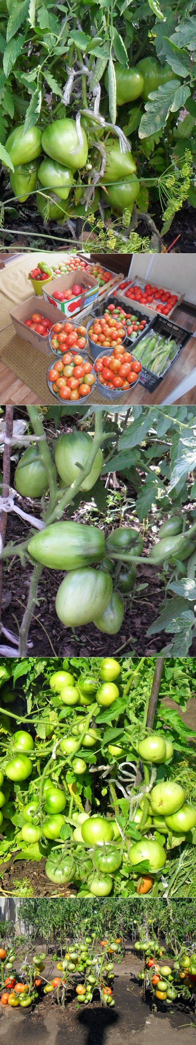 Вкусный Огород: Советы по выращиванию томатов | сад. огород | Постила