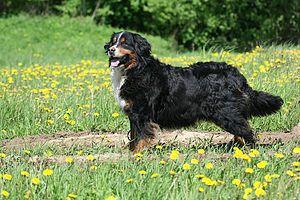l Bernés de la montaña (también llamado Bernese Mountain Dog, Perro de Montaña Bernés, Berner Sennenhund, Bouvier de Berna, Bovaro Bernese o Bouvier Bernois) es una raza de perro boyero muy versátil que se originó en el Cantón de Berna, Suiza. Un moloso macizo con una altura aproximada de 70 cm a la cruz y un peso si es macho que ronda los 48 - 51 Kg, si es hembra entre los 46 a 49 Kg. Se caracteriza por sus colores marrón, blanco y negro.