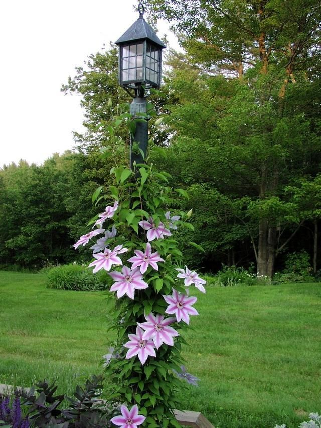 Large-flowered violet Clematis 'Nelly Moser'.  6 - 8 inch flat flowers.  Great climber.  6 feet tall. 1 - 3 feet spread.  Blooms twice a year.