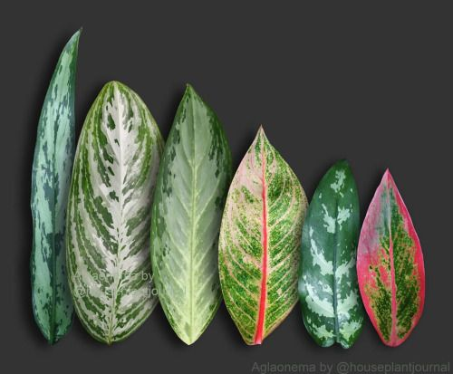 house plant journal aglaonema chinese evergreen great indoor low light plant - Houseplants For Low Light