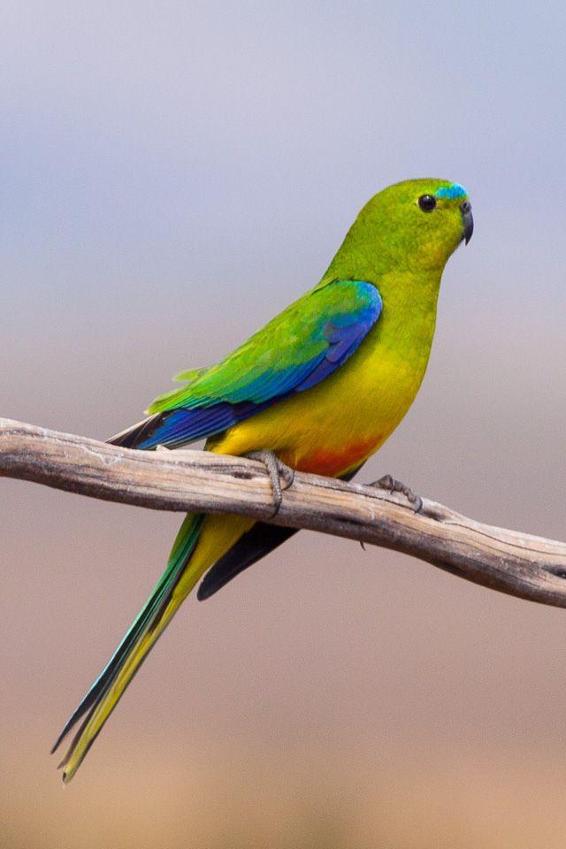 Orange-bellied Parrot (Neophema chrysogaster), CRITICALLY ENDANGERED, Melaleuca, Tasmania, Australia photograph by Ron Knight