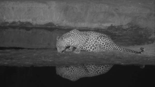 Leopard at Nkorho 1 - Oct 6 2016 - 2:45am | Africam