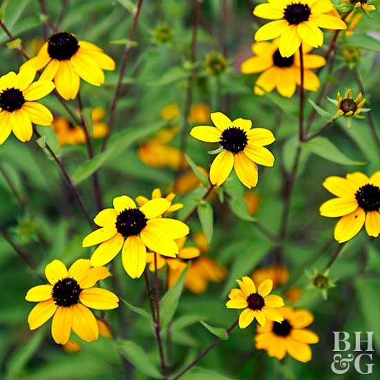 Clay soil can be tough for plants to thrive in, but not for these hardy plants! Hosta, black-eyed Susan, and coral bells are just a few of the top plants that grow well in clay soil. Consider adding these and some of our other favorite plants to your garden. #gardening #flowers #soil