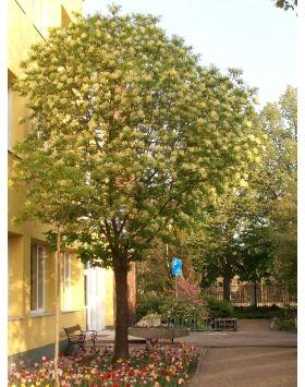 Fraxinus ornus 'Mecsek' - Gömb kőris