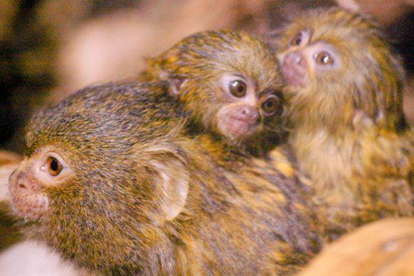 Pygmy Marmoset Monkey  with twin baby's (DwergzijdeAapje)