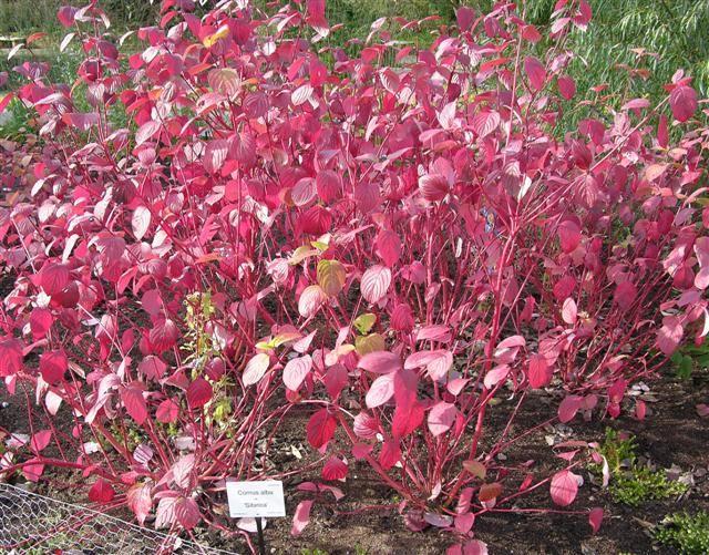 46 best images about garden plants on pinterest hardy - Cornus alba sibirica ...