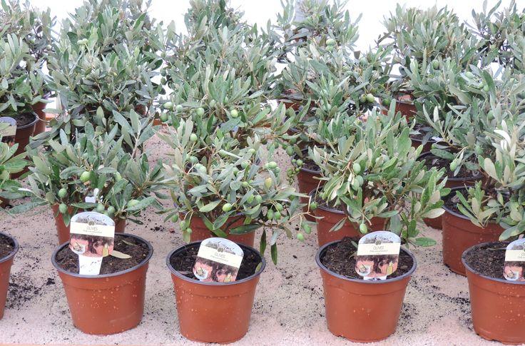 Olive Bush, 1ltr pot