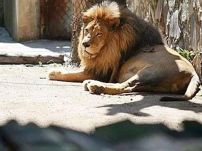 Onewstar: Uccisi quattro leoni allo zoo di Copenaghen