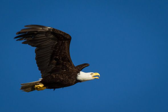 Bald Eagle Flying, Campbell River, BC by Anne McKinnell