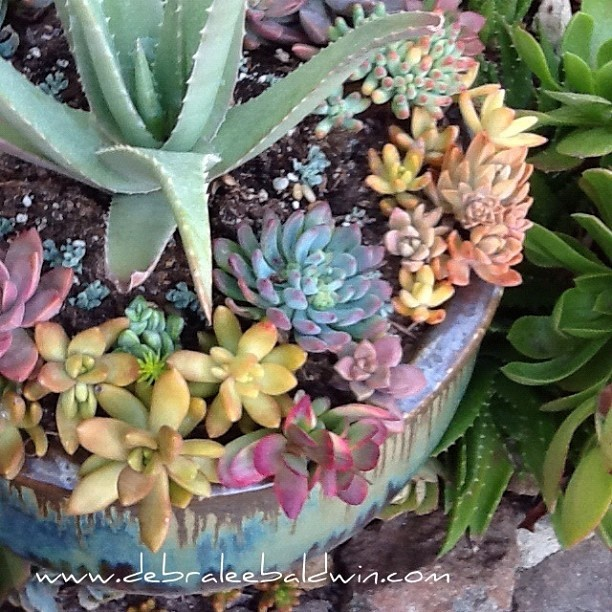17 best images about plant succulents on pinterest gardens potted succulents and planters - Succulent container gardens debra lee baldwin ...