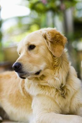 Remédio caseiro para cachorro com coceira | eHow Brasil