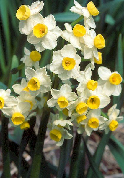 images about Daffodils on Pinterest