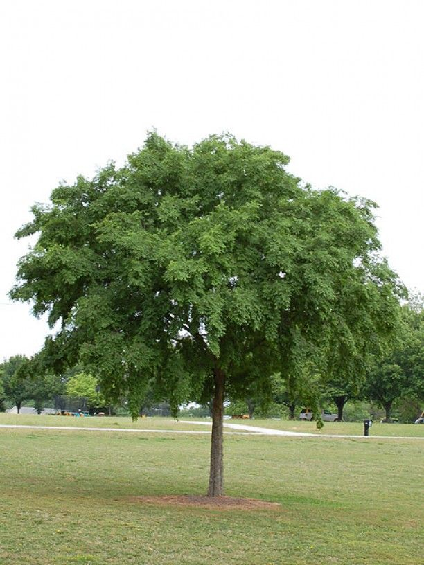 Tamke Tree Experts » Feature Foliage: Lacebark Elm (Ulmus parvifolia)