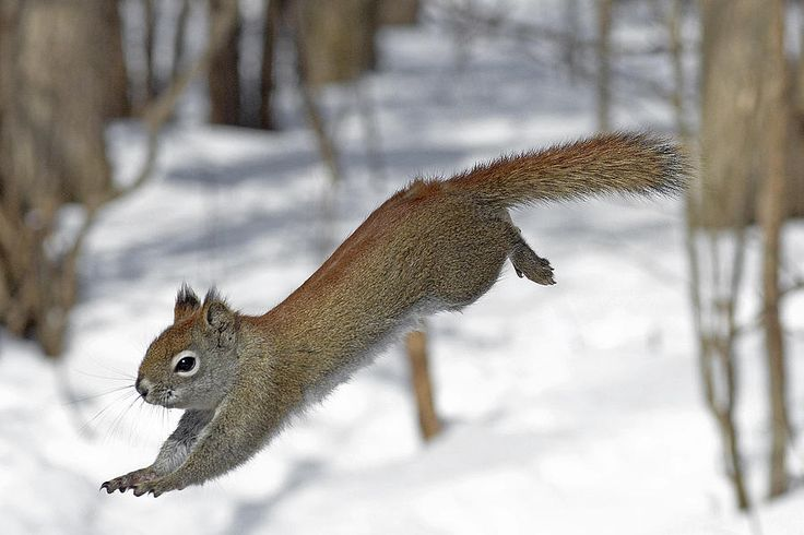 A Devil Named American Red Squirrel Photograph by Asbed Iskedjian