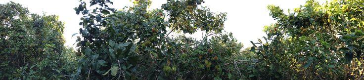Rambutan Plantation .. Pailin Cambodia