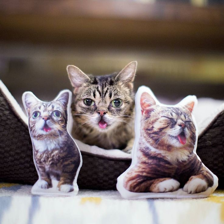 These new Lil BUB Lil Plush Dolls are now shipping athttp://ift.tt/1LRJey4 the link in BUB's bio. Use code THANKSBUB for 10% off. #lillilbub #lilbub #bubstuff by iamlilbub