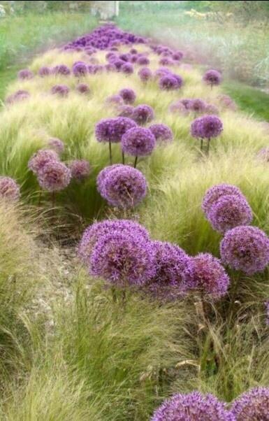 Allium et graminées