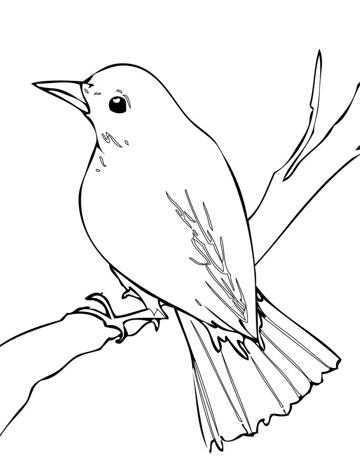 Nightingale bird drawing Nightingale