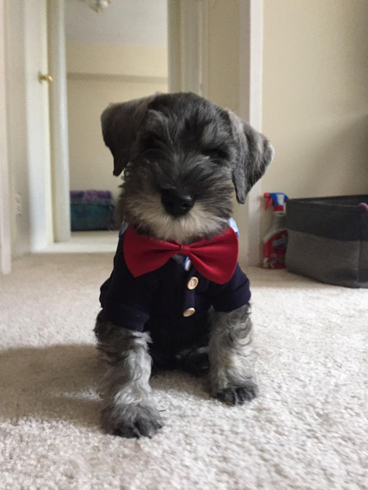 Meet Stanley my mini schnauzer puppy in his Halloween outfit http://ift.tt/2z2m6vN