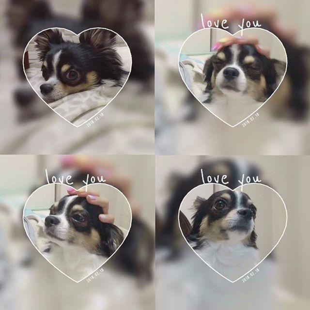 この前横の毛がボーボーだったので自分でカットしたよ🐶 #毛がボーボー  初めての#セルフカット #バリカン #スッキリ 犬の毛切るのむずっ! #牛柄 #牛柄チワワ #愛犬 #チワワ #チワワ部 #ロンチー #ロングコートチワワ #チワワちゃん #チワワラブ #チワワン #ブラックタンandホワイト #可愛い #わんこさん #chihuahua #Japan #dog #love #cute #baby #instadog #mybaby #myfriend
