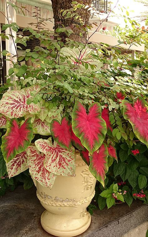 Use Tropical Shade Plants in Your Garden: Sensational snowbush and cool caladiums are perfect together in a container garden. | From @costafarms
