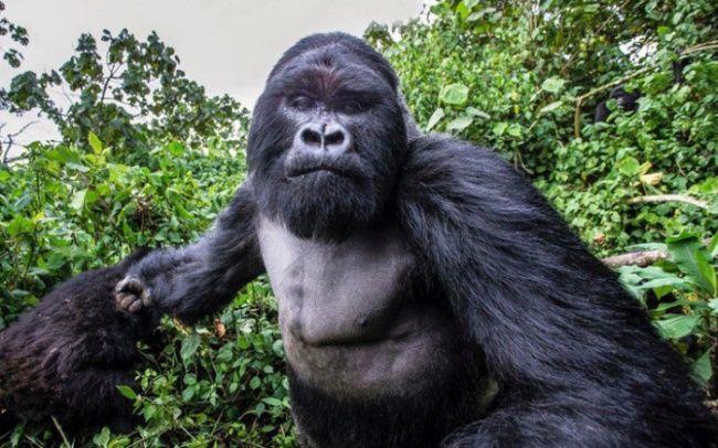 Горная горилла за секунду до того, как ударила по фотоаппарату