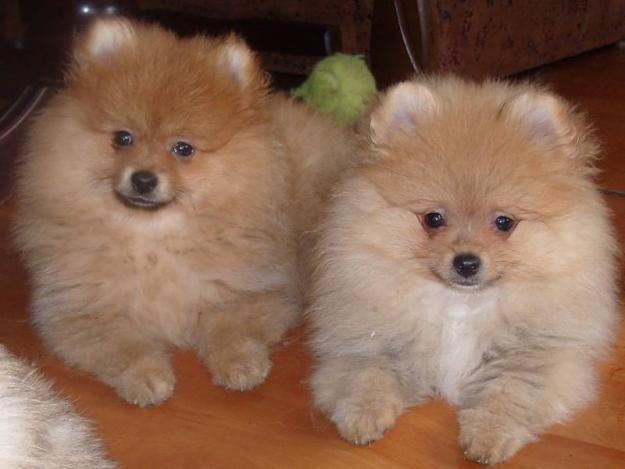 Preciosa Camada De Cachorritos Pomerania - Perros pequeños en Madrid, Parla.