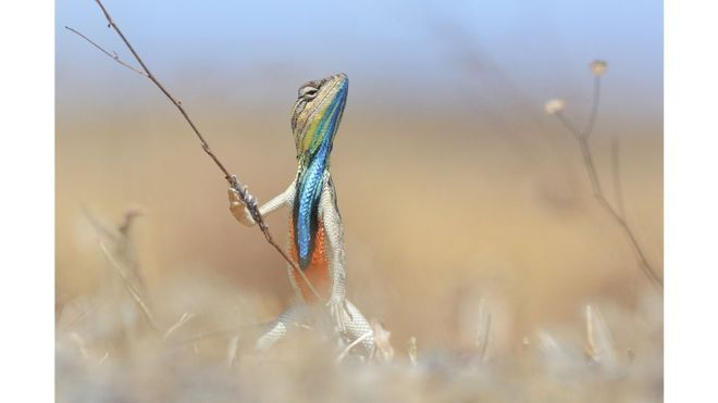 The judges selected 100 images from more than 2,500 entries. Anup Deodhar was awarded the silver medal in the 26 and over section for this photo of a fan-throated lizard in Maharashtra, India
