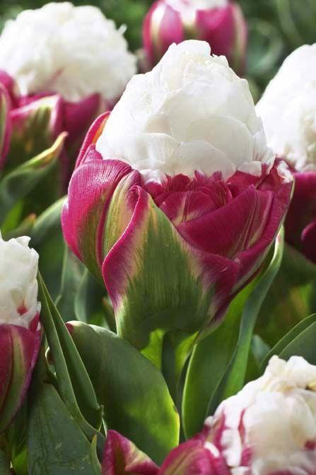 Ice Cream Tulip Gorgeous Spring Blooms Pinterest