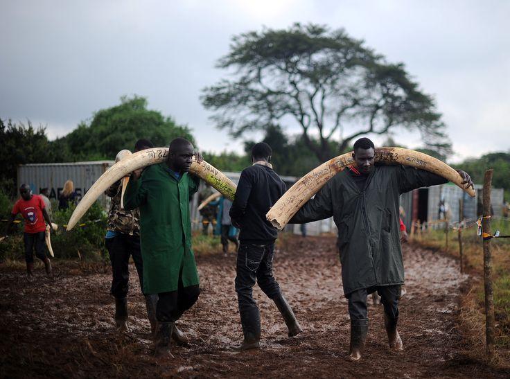 Satao II, l'un des derniers éléphants aux défenses géantes tué au Kenya : Geo.fr