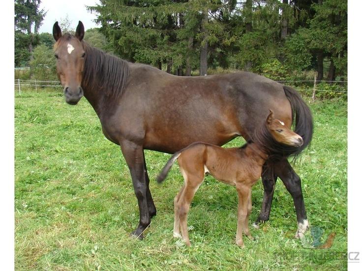 Prodám koně http://zvirata.profit-inzerce.cz/prodam-kone-stare-mesto-716403/