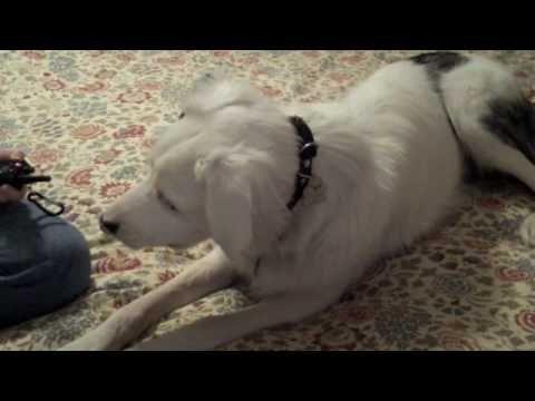 Vibration collar training for a deaf dog.