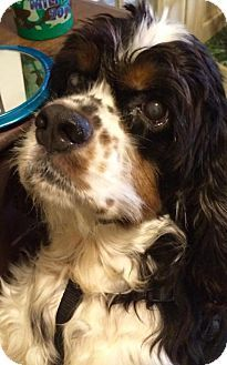 Gulfport, MS - Cocker Spaniel. Meet Boz, a dog for adoption. http://www.adoptapet.com/pet/12470138-gulfport-mississippi-cocker-spaniel